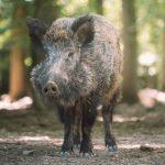 Zamke za divlje svinje su sigurna zaštita